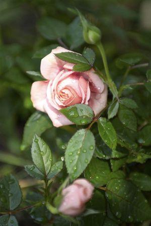 Rosen05.jpg