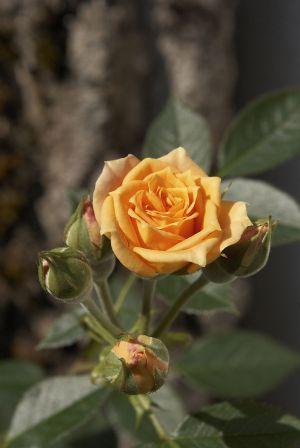 Rosen06.jpg