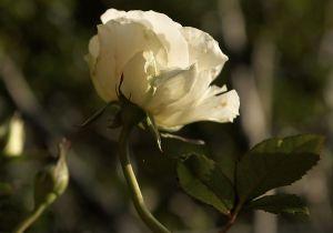 Rosen08.jpg