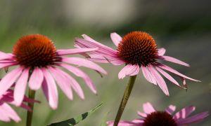 c68-Blumen-Juli09-2053.jpg