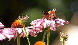 c71-Blumen-Juli09-2072.jpg