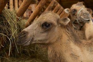 Kamele&Lamas-004.jpg