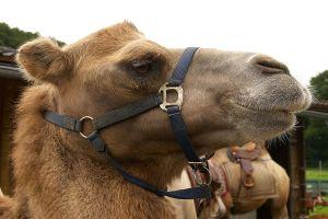 Kamele&Lamas-037.jpg
