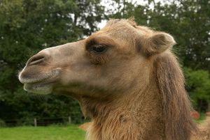 Kamele&Lamas-123.jpg