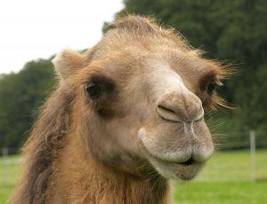 Kamele&Lamas-140.jpg