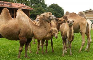 Kamele&Lamas-142.jpg