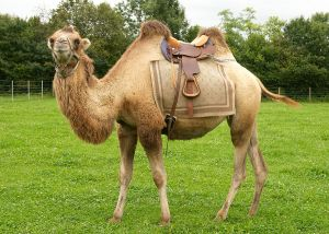 Kamele&Lamas-169.jpg