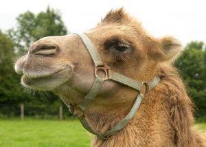 Kamele&Lamas-174.jpg