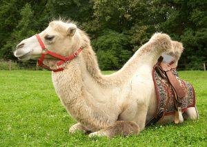 Kamele&Lamas-185.jpg
