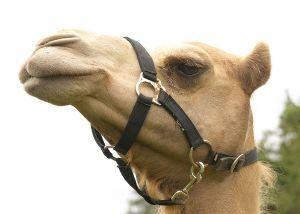 Kamele&Lamas-201.jpg