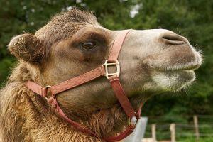 Kamele&Lamas-320.jpg