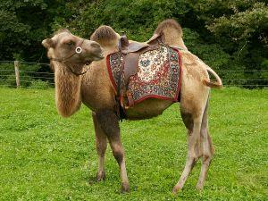 Kamele&Lamas-335.jpg