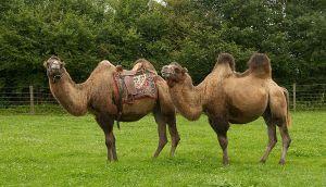Kamele&Lamas-350.jpg