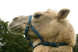 Kamele&Lamas-380.jpg