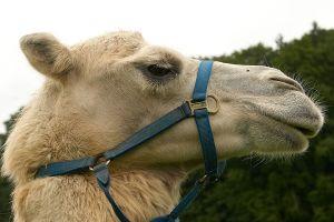 Kamele&Lamas-382.jpg