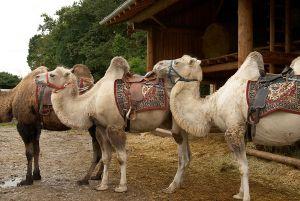 Kamele&Lamas-398.jpg