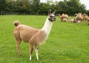 Kamele&Lamas-213.jpg