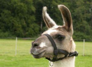 Kamele&Lamas-220.jpg