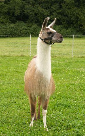 Kamele&Lamas-221.jpg