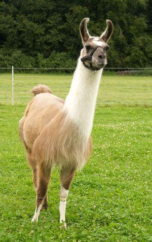 Kamele&Lamas-223.jpg