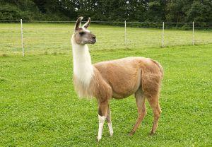 Kamele&Lamas-226.jpg