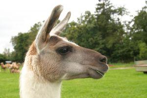 Kamele&Lamas-232.jpg
