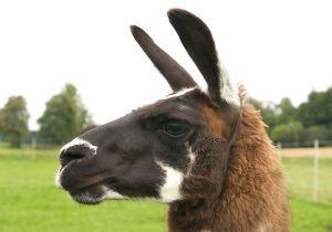 Kamele&Lamas-234.jpg