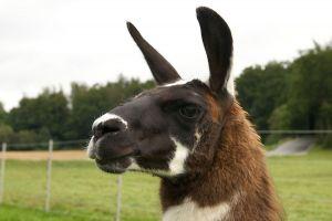 Kamele&Lamas-236.jpg