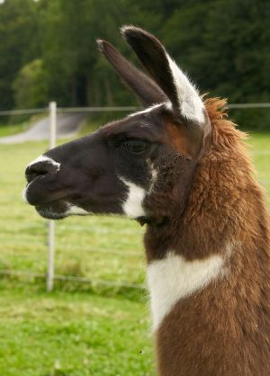 Kamele&Lamas-244.jpg