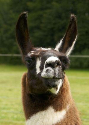 Kamele&Lamas-246.jpg