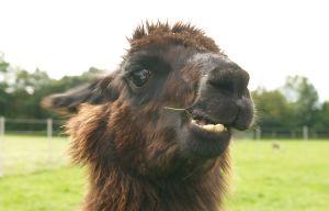 Kamele&Lamas-279.jpg