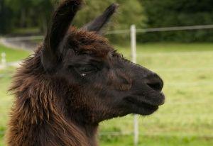 Kamele&Lamas-283.jpg