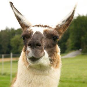 Kamele&Lamas-299.jpg