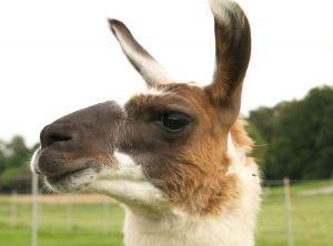 Kamele&Lamas-300.jpg