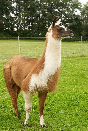 Kamele&Lamas-313.jpg
