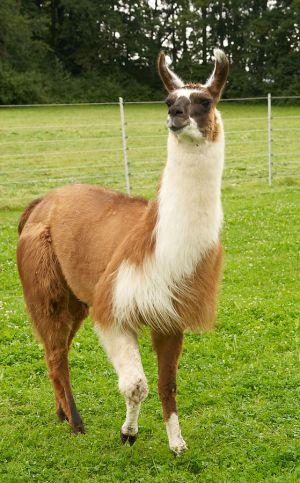 Kamele&Lamas-316.jpg