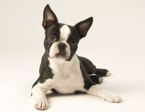BostonTerrier130.jpg
