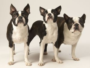 BostonTerrier189.jpg